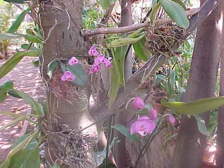 ... jardim do eden 32 orquídeas phalaenopsis fotos de eduardo loureiro