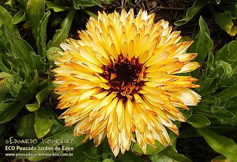 Calêndulas (Calendula officinalis) Pousada Jardim do Eden