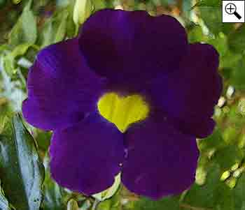 tumbérgia-azul